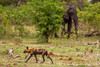 African Wild Dog aka African Painted Dog and African Bush Elephant