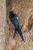 Green Wood Hoopoe aka Red-billed Wood Hoopoe