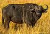 Cape Buffalo aka Southern Savanna Buffalo