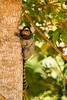 Tufted-eared Marmoset aka Common Marmoset