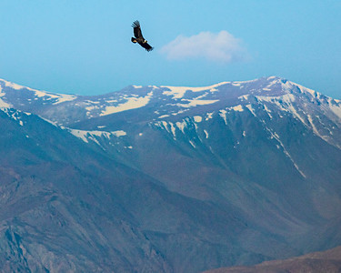 Andean Condor High Over Elqui Valley