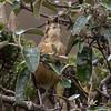 Tawny Antipitta, Papallacta, Ecuador