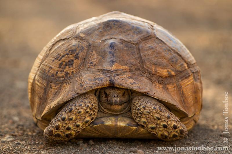 Leopard Tortoise, ca. 50 cm long