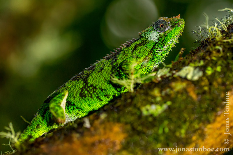 Female Bale Mountains Two-horned Chameleon