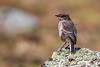 Moorland Chat aka Hill Chat aka Mountain Chat aka Alpine Chat