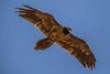 Subadult Lammergeier aka Bearded Vulture