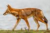 Southern Ethiopian Wolf