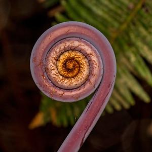 Fiddlehead of Uhule fern
