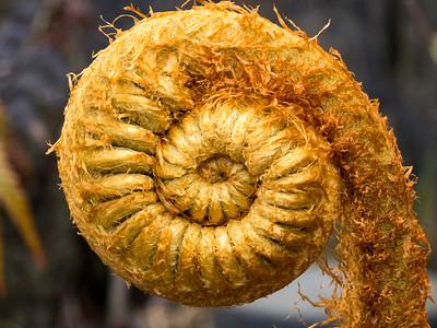 Fiddlehead of (I think) a tree fern