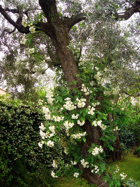 Climbing rose on an olive tree in back yard at St Michele