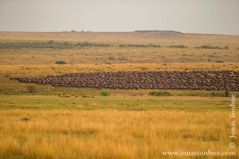 Blue Wildebeest aka White-bearded Wildebeest aka Common Wildebeest Migrating Towards Mara River