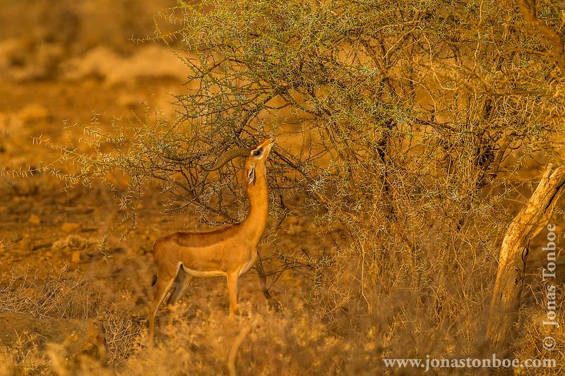 Gerenuk aka Giraffe-necked Antelope aka Waller's Gazelle
