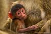 Baby Yellow Baboon Feeding