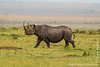 Female Black Rhinoceros