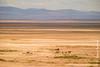 African Bush Elphant Crossing Salt Pan
