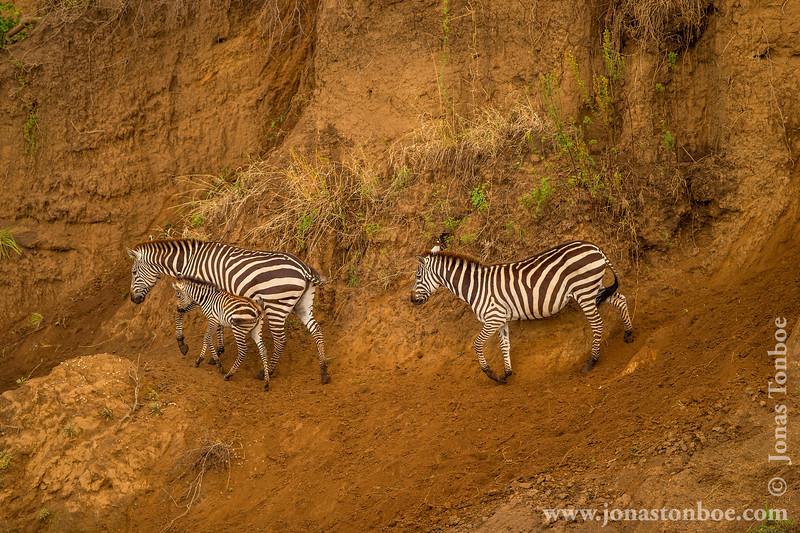 Burchell's Zebra aka Plains Zebra at Mara River