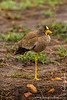 African Wattled Plover aka African Wattled Lapwing