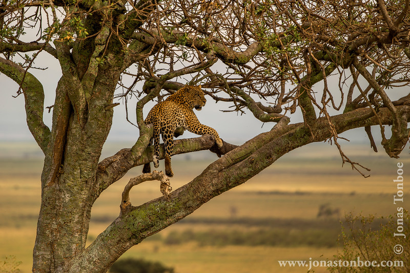 Male African Leopard With His Kill
