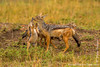 Female Black-backed Jackal and Cubs
