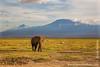 African Bush Elephant in Front of Mount Kilimanjaro