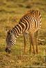 Burchell's Zebra Foal aka Plains Zebra Foal
