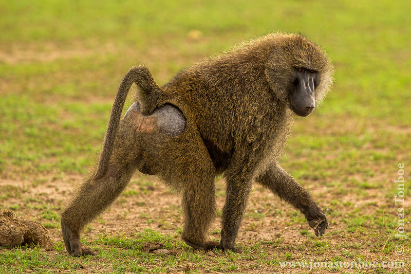 Olive Baboon aka Anubis Baboon