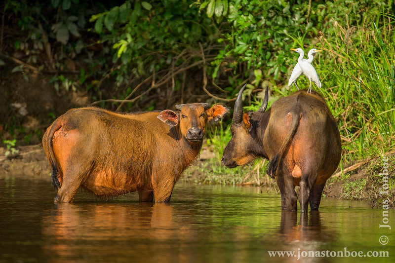 African Forest Buffalo and Cattle Egret