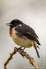 Common African Stonechat