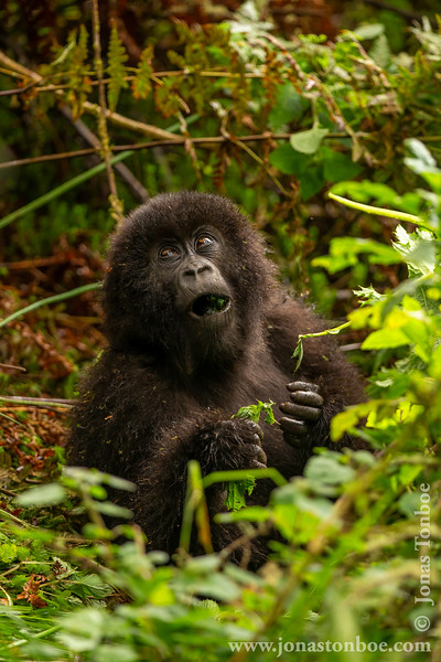 Infant Mountain Gorilla