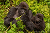 Female and Infant Mountain Gorilla
