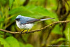 White-tailed Blue Flycatcher
