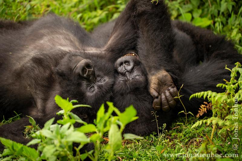 Mountain Gorilla Brothers