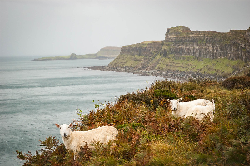 Sheep on the Isle of Skye