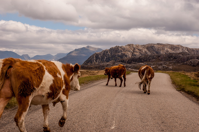 Free Range Cattle in the Highlands