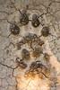 African Lion Pugmarks