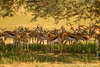 Springbok Seeking Shade Under a Tree