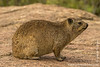 Rock Hyrax aka Rock Badger aka Cape Hyrax aka Dassie