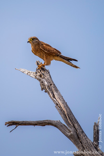 Lesser Kestrel With Prey