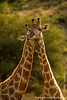 Male South African Giraffe aka Cape Giraffe Mock Fighting