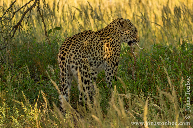 Female African Leopard Having Caught a Snake