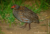 Grey-breasted Francolin aka Grey-breasted Spurfowl
