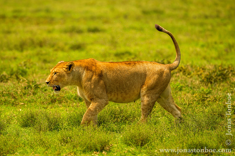 Female African Lion Trying to Get Away From a Swarm of Tse-tse Flies