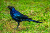 Rüppell's Glossy Starling aka Rüppell's Long-tailed Glossy Starling