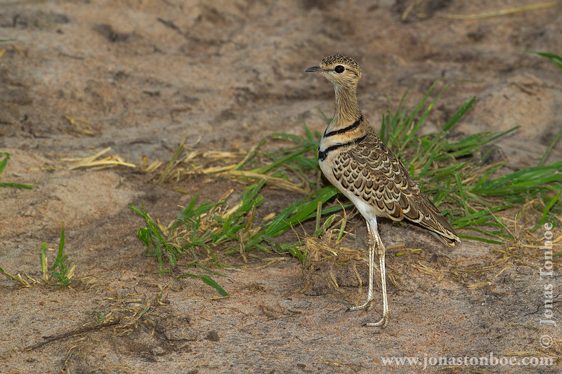 Double-banded Courser aka Two-banded Courser