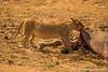 Lion Eating a Hippopotamus