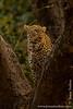 Female Leopard in a Tree