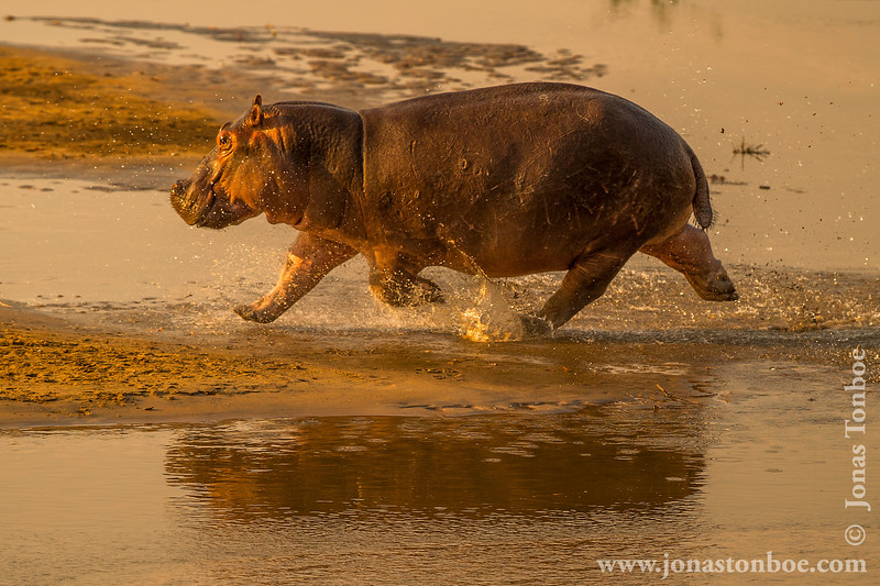 Hippopotamus aka Hippo in Luangwa River
