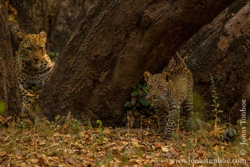 Female Leopard and Cub