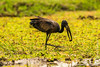 African Openbill Stork With a Snail