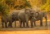 African Bush Elephant Taking a Dust Bath